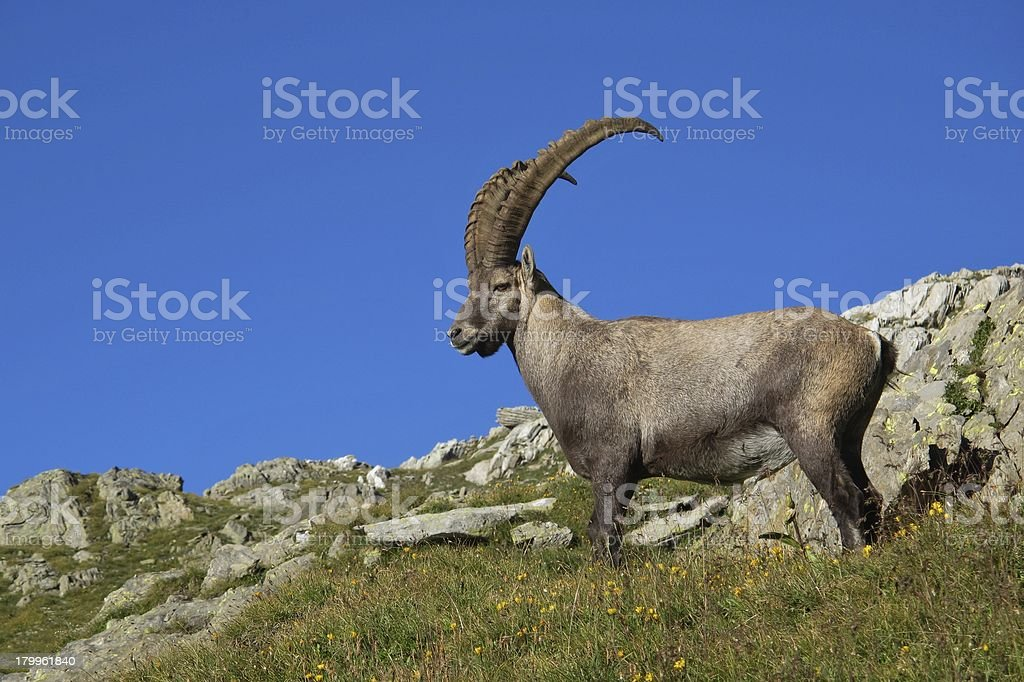 Standing alpine ibex royalty-free stock photo