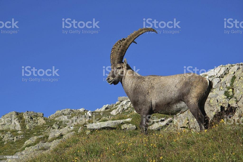 Standing alpine ibex stock photo