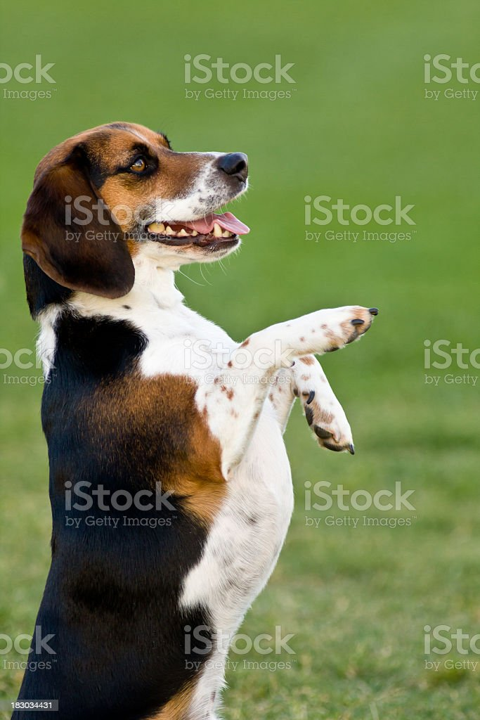 Standing Beagle royalty-free stock photo