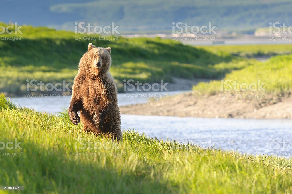 Standing Bear in Twilight River Landscape stock photo