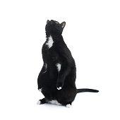 Standing black cat isolated over the white background