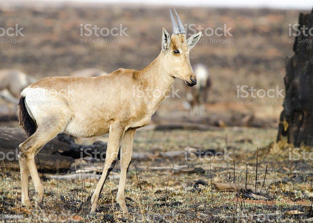 Standing calf amongst dead grasslands stock photo