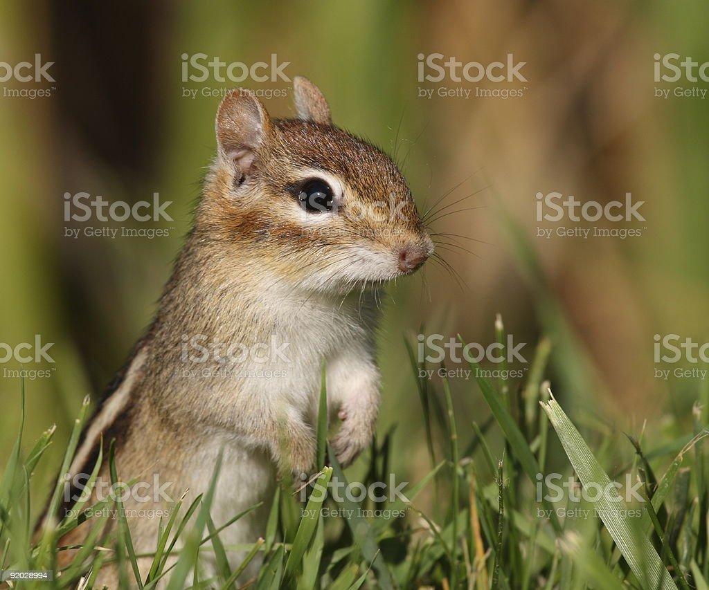 Standing Chipmunk stock photo