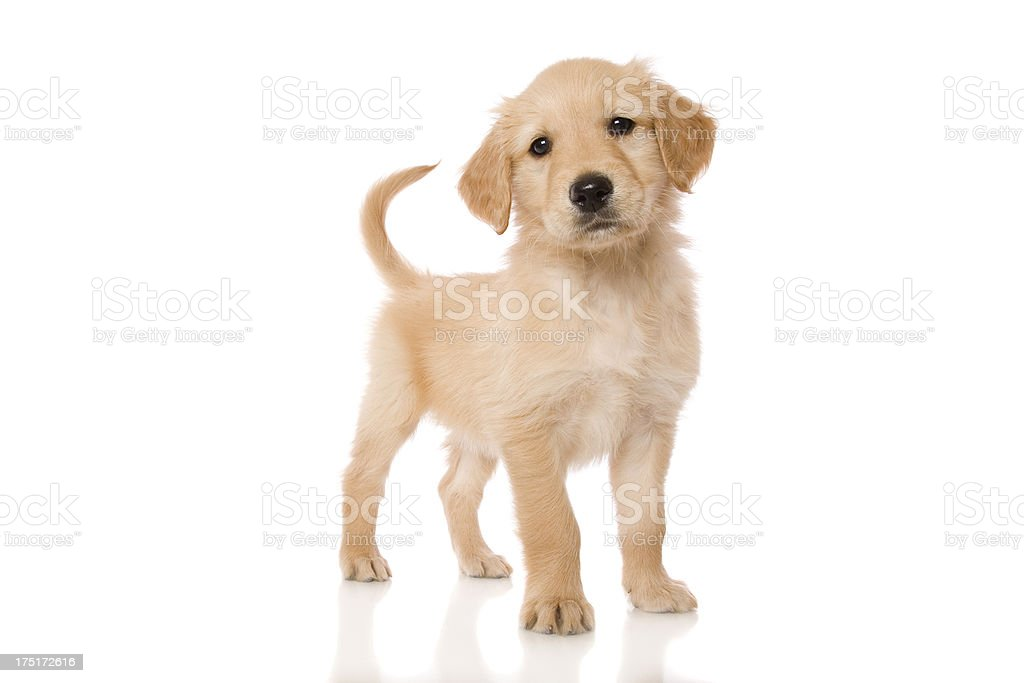 Standing Cute Pup stock photo
