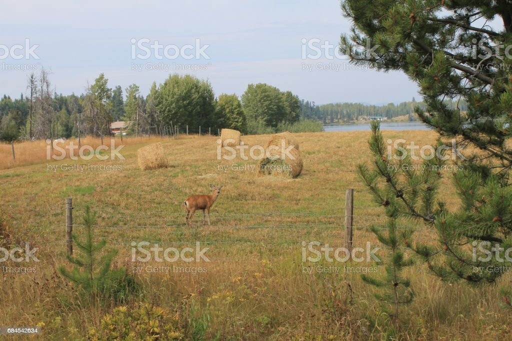Standing Doe in the field stock photo