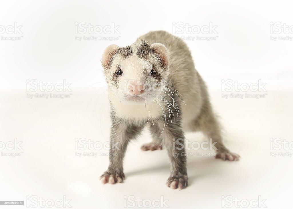 Standing ferret stock photo