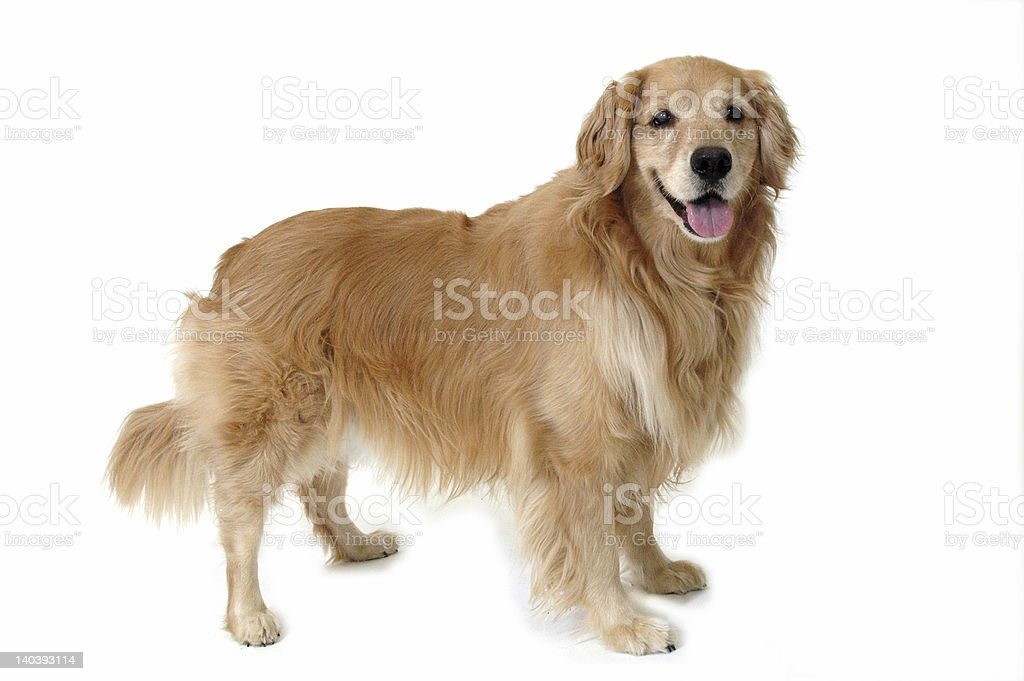 Standing Golden stock photo