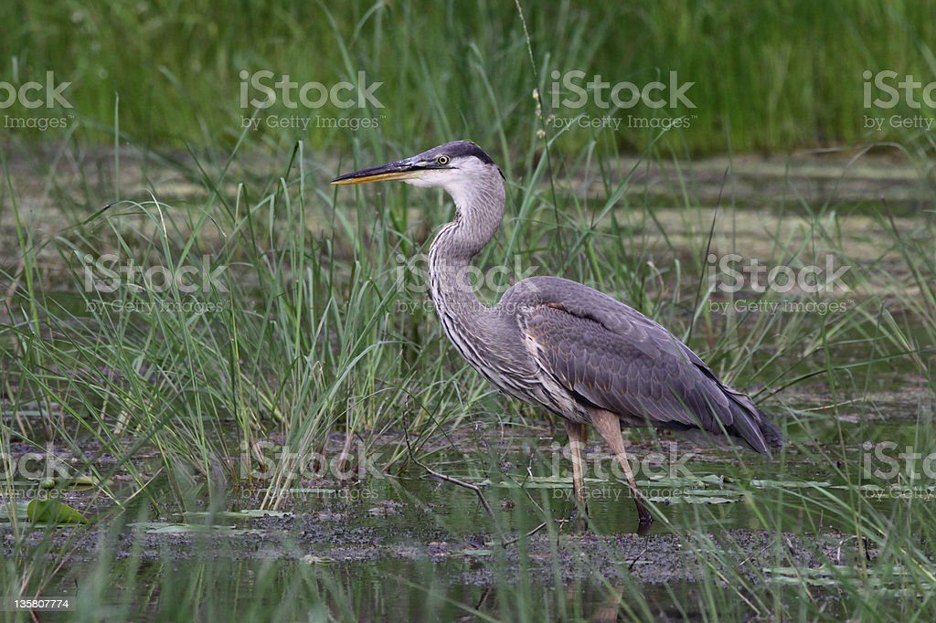 Standing Great Blue Heron royalty-free stock photo