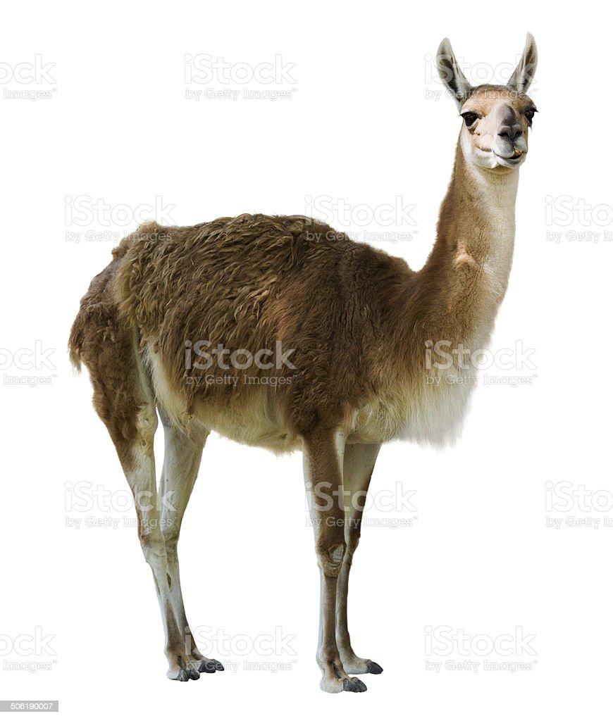 Standing guanaco stock photo