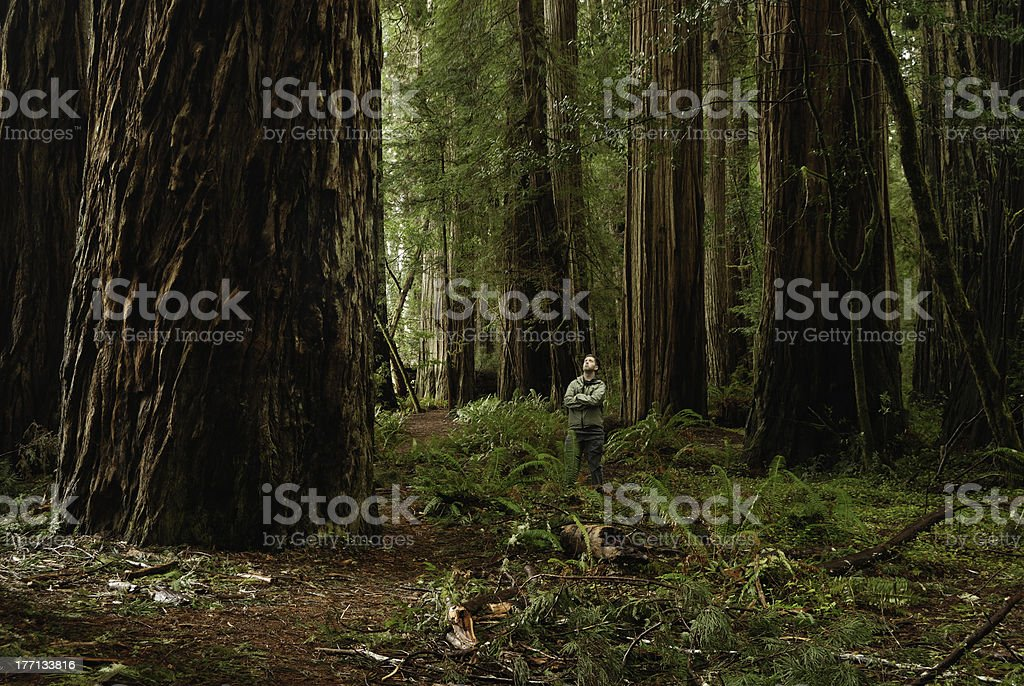 Standing in the Redwoods royalty-free stock photo