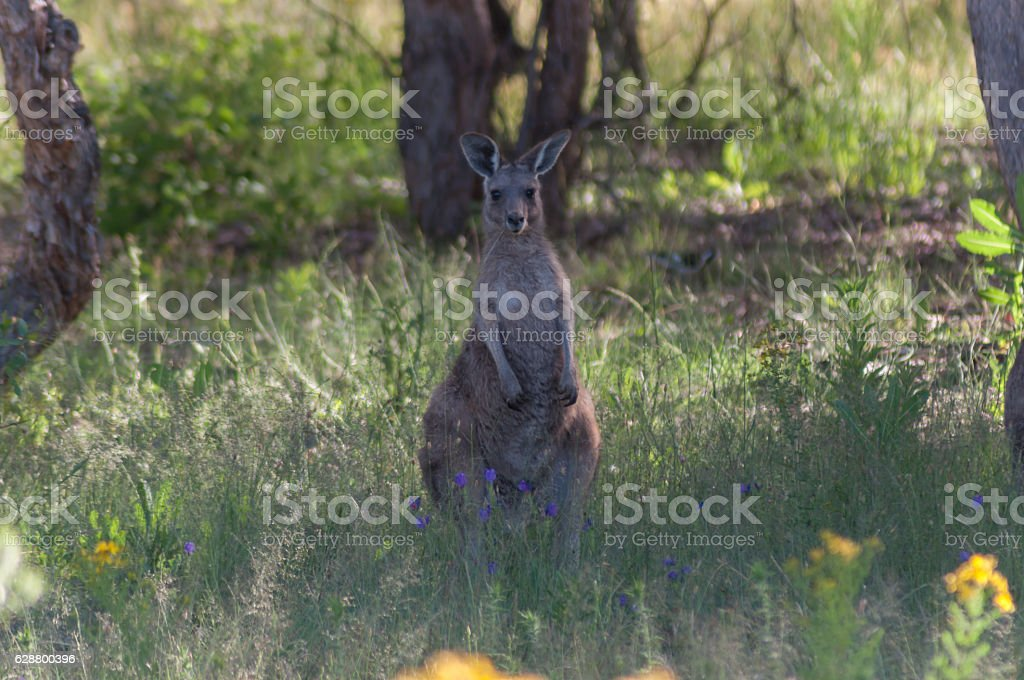 Standing Kangaroo stock photo