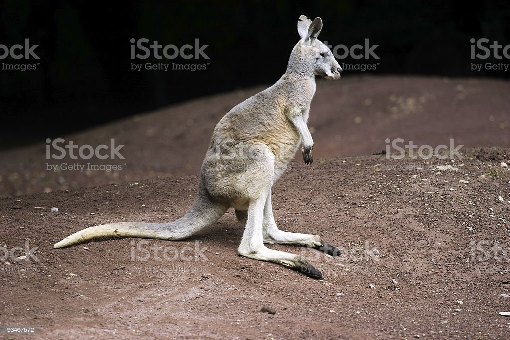 Standing kangaroo royalty-free stock photo