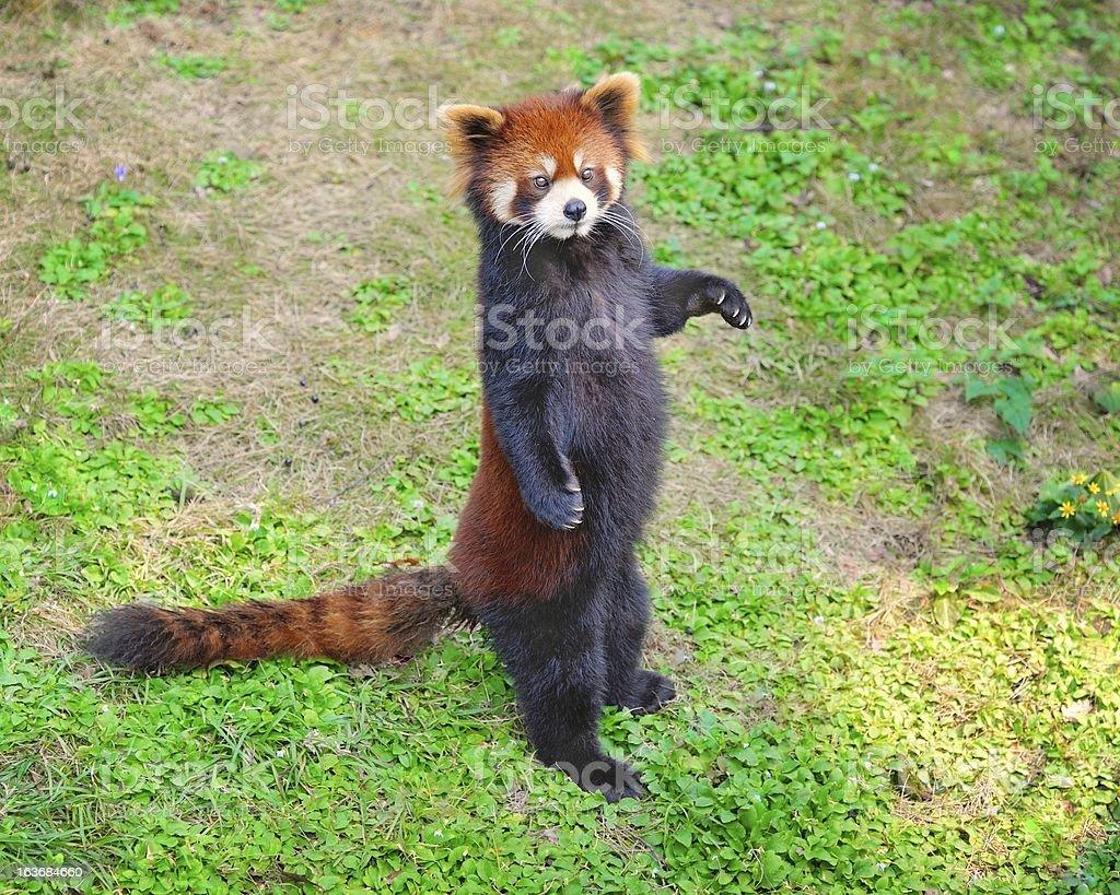 Standing Lesser panda royalty-free stock photo