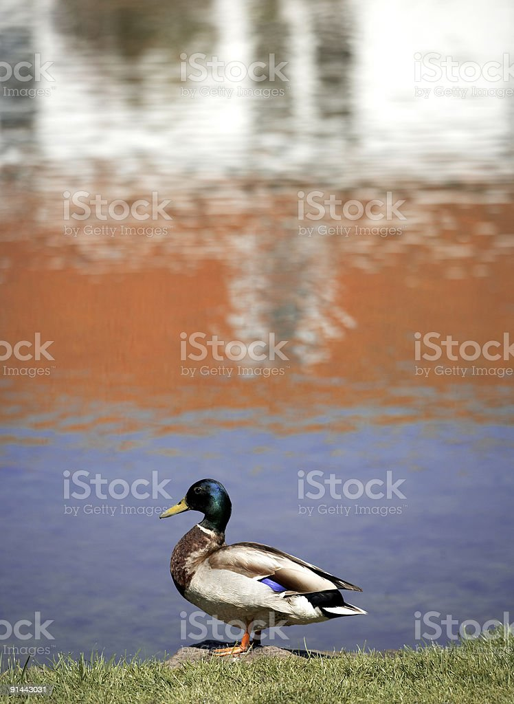 Standing Male Duck stock photo