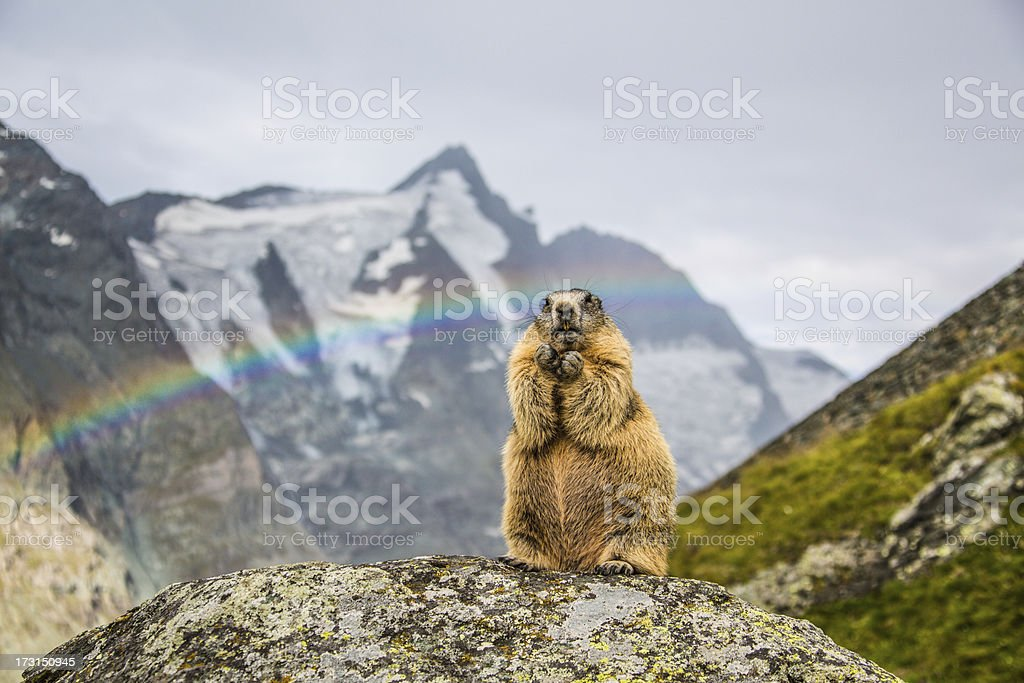 Standing Marmot with Grossglockner in the background. stock photo