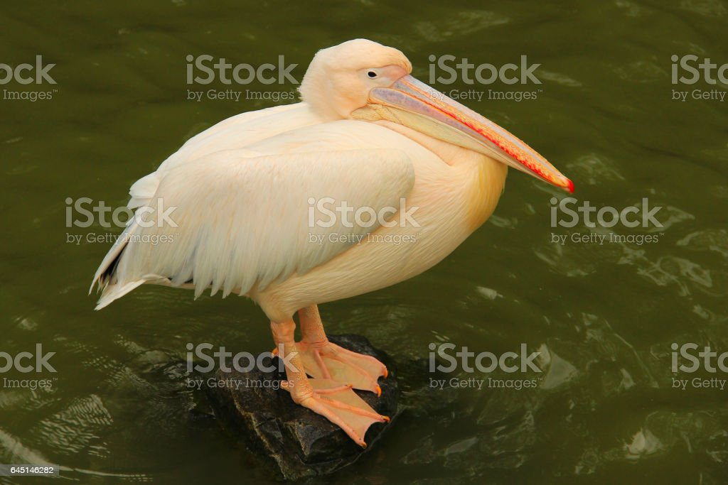 Standing pelican on the stone stock photo