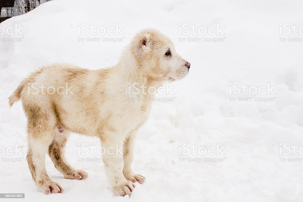 Standing puppy royalty-free stock photo
