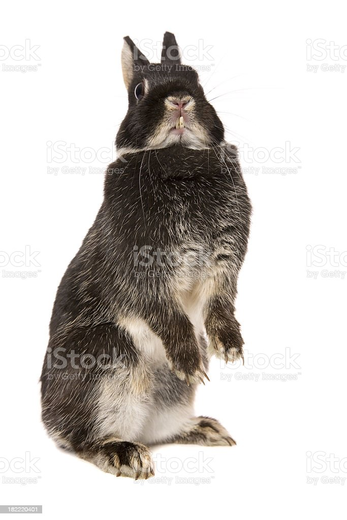 Standing Rabbit royalty-free stock photo