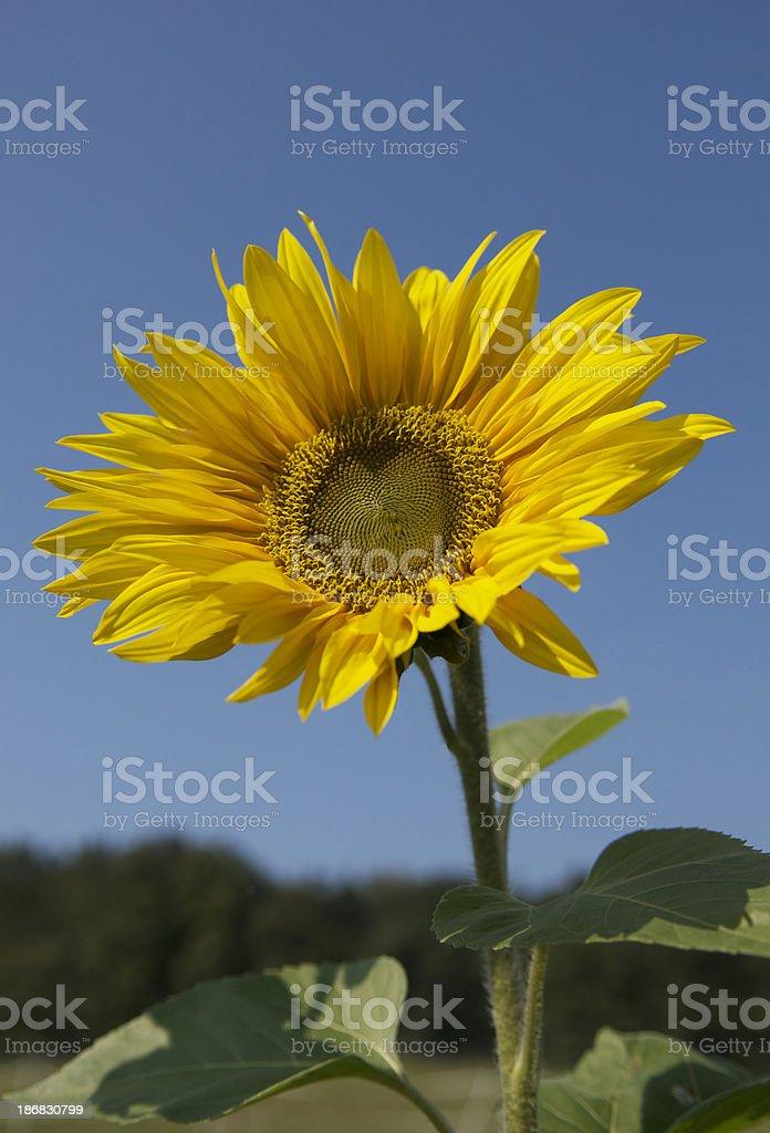 Standing Sunflower against blue sky stock photo