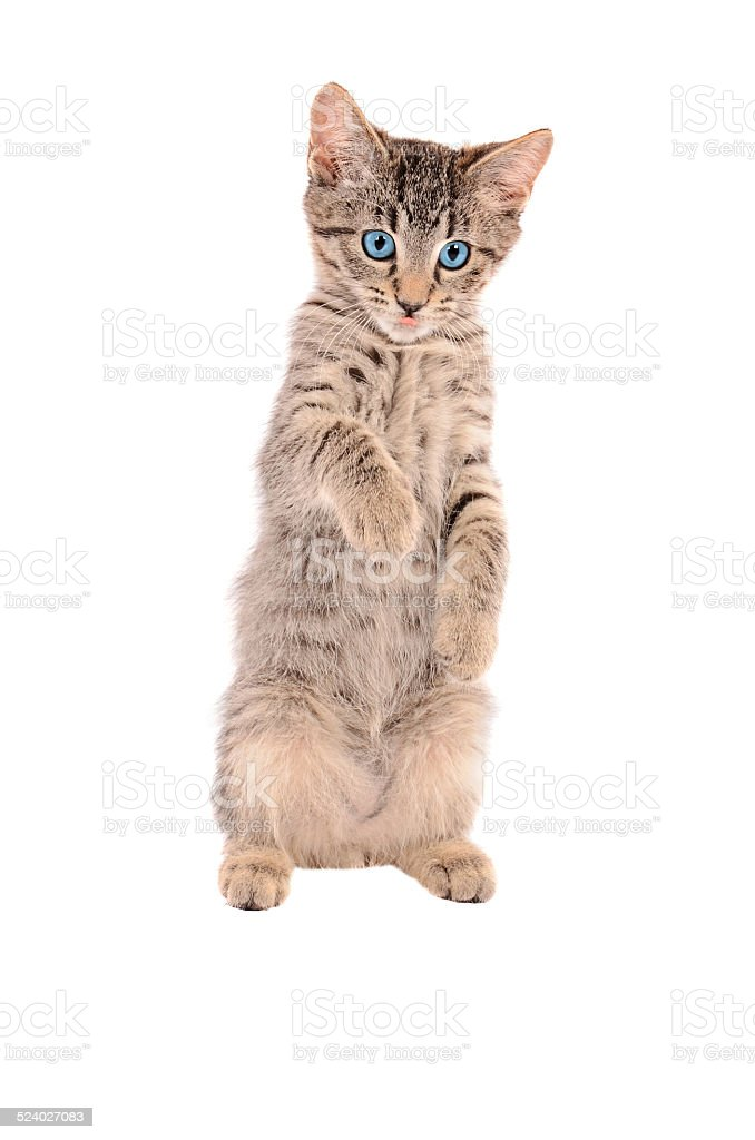 standing tabby tongue out stock photo