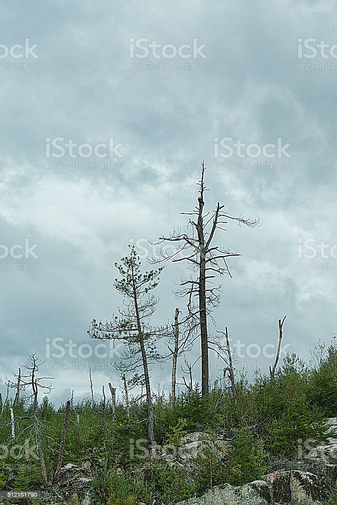 Standing Timber stock photo