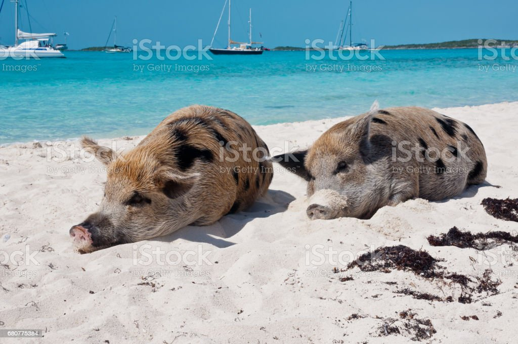Staniel Cay Pigs on the Beach stock photo