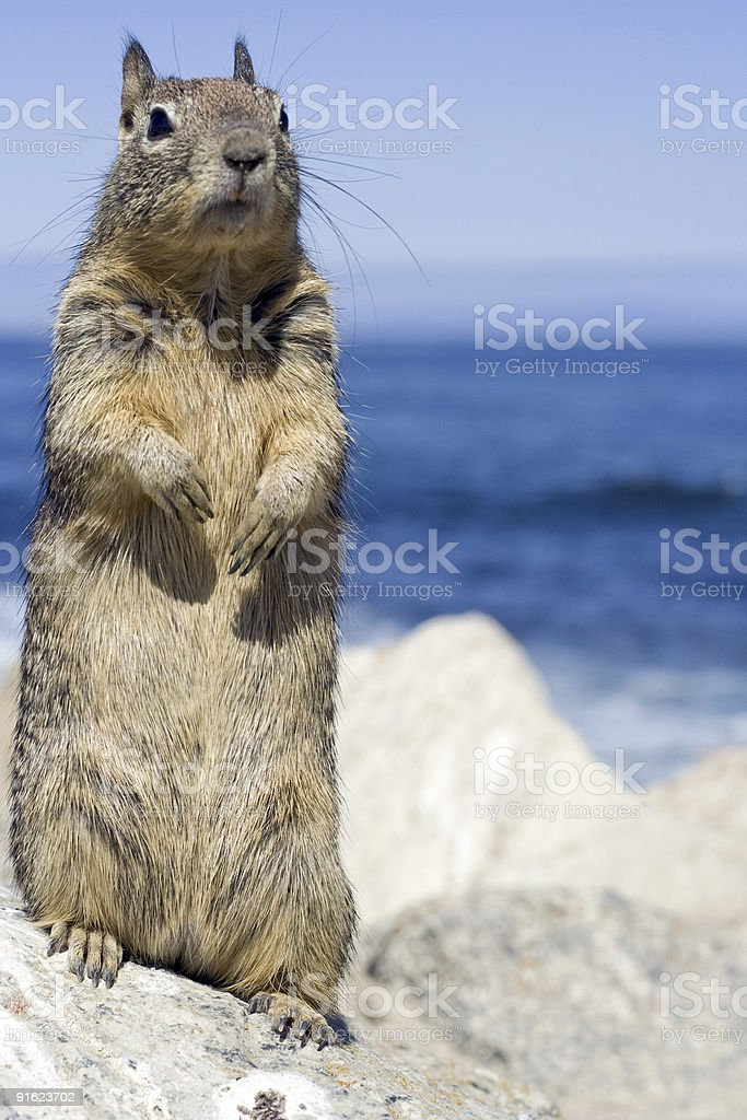 Stannding Squirl royalty-free stock photo