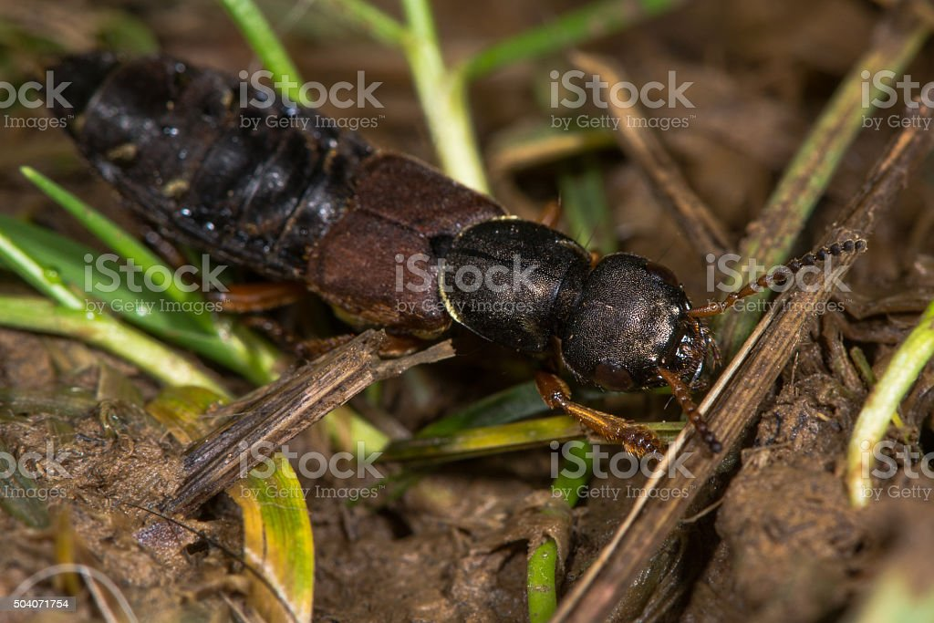 Staphylinus dimidiaticornis beetle in family Staphylinidae stock photo