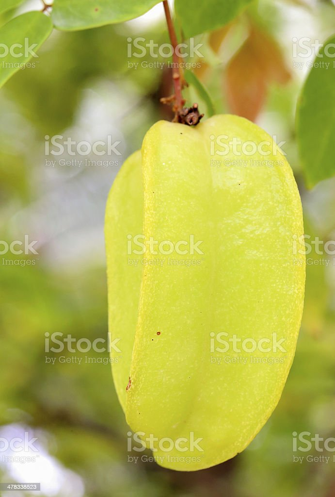 Star apple fruit on the tree ,in thailand royalty-free stock photo