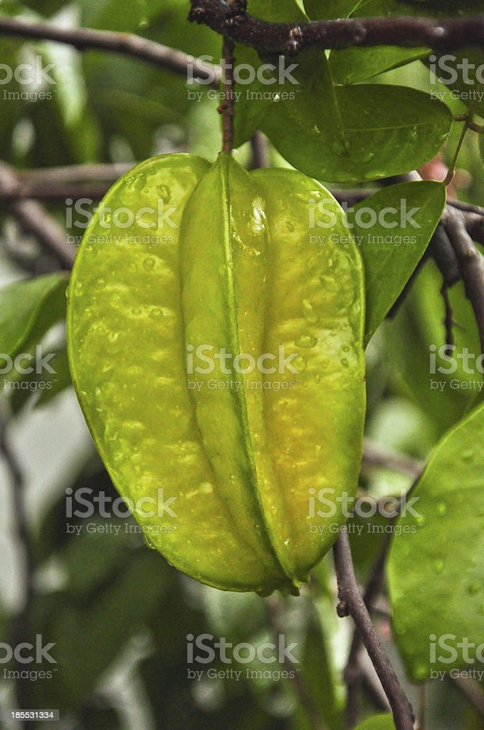 star apple fruit on the tree,close up royalty-free stock photo