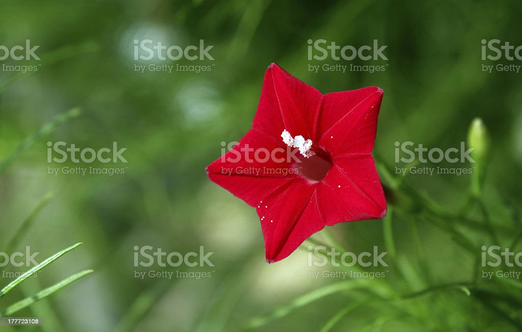 Star Flower stock photo