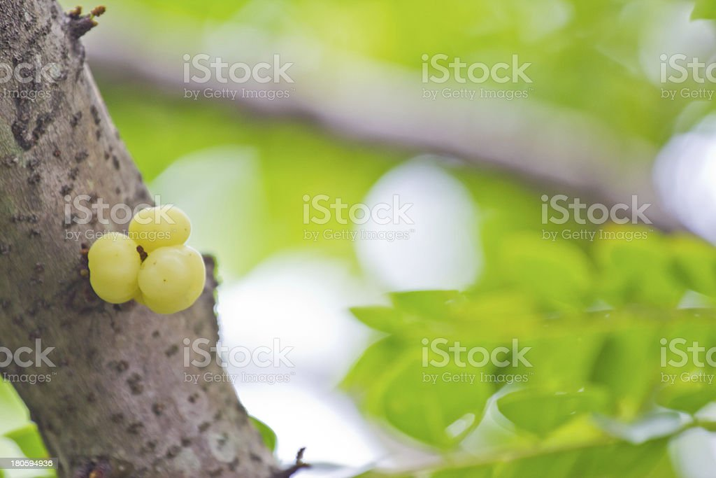 star gooseberry on tree (Phyllanthus acidus Skeels.) royalty-free stock photo