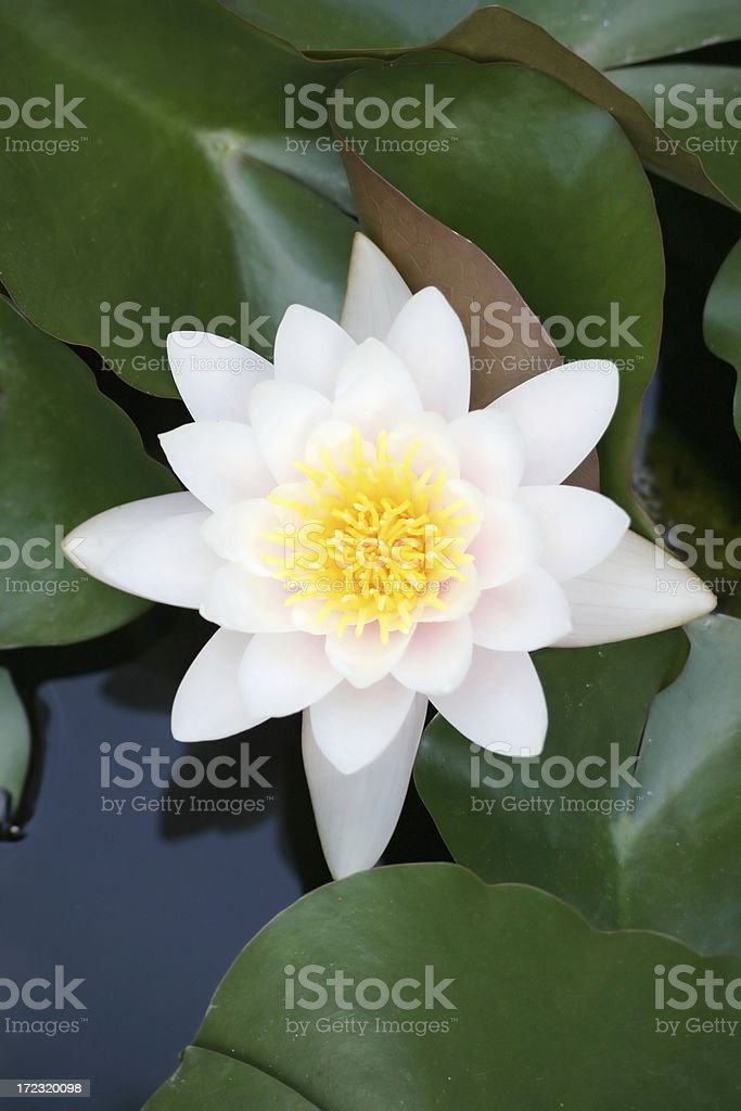 star in a pond royalty-free stock photo