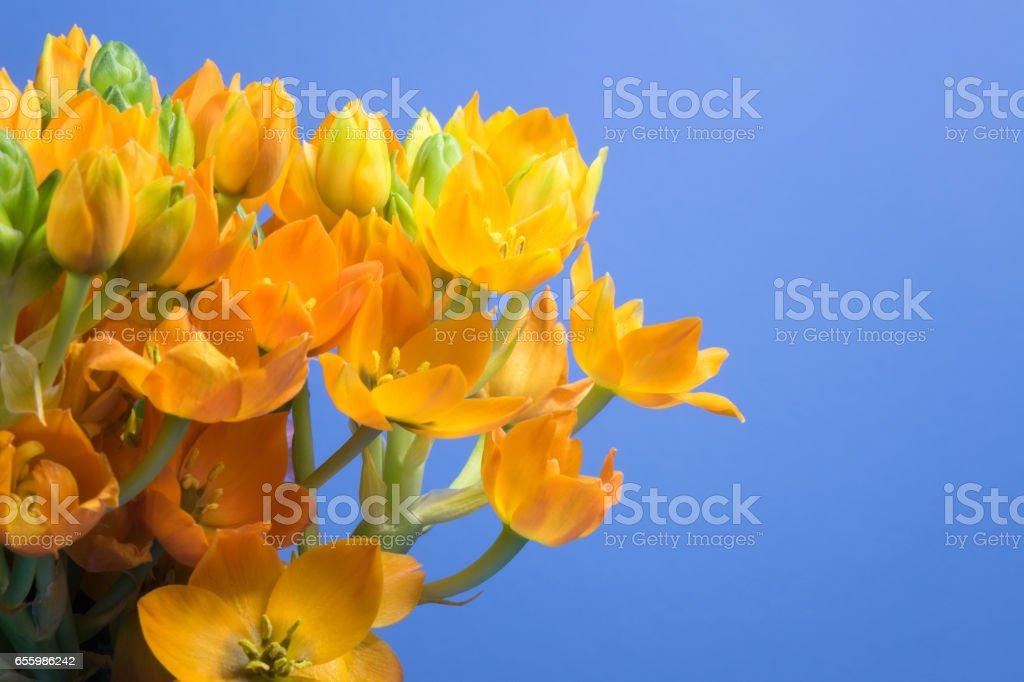 Star Of Bethlehem Flower On Blue background stock photo