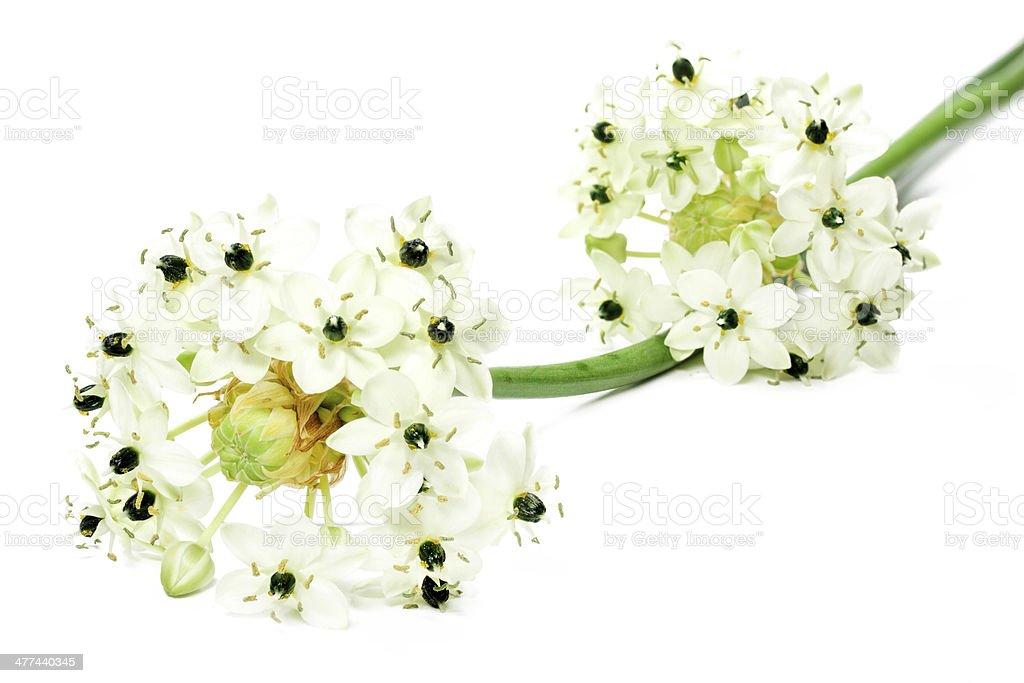 Star of Bethlehem flower (Ornithogalum arabicum) stock photo