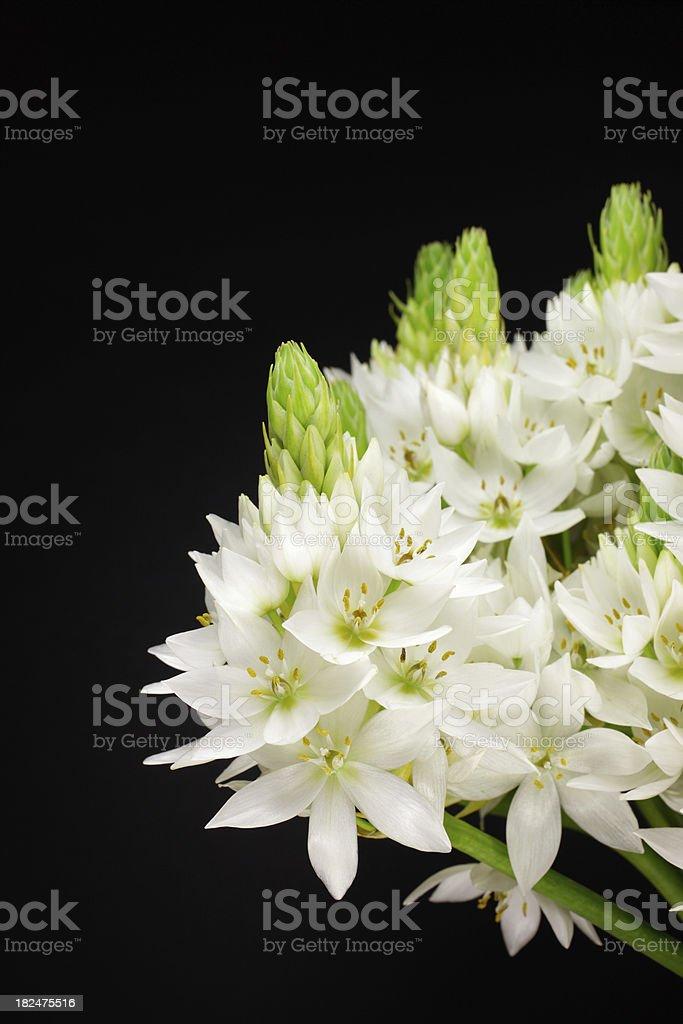 Star of Bethlehem Flowers stock photo
