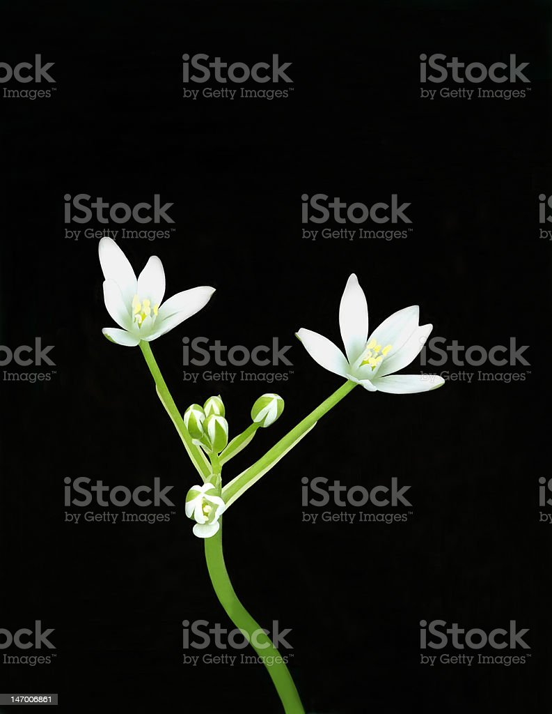 Star of Bethlehem royalty-free stock photo