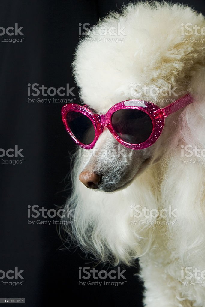 Star Poodle Profile stock photo