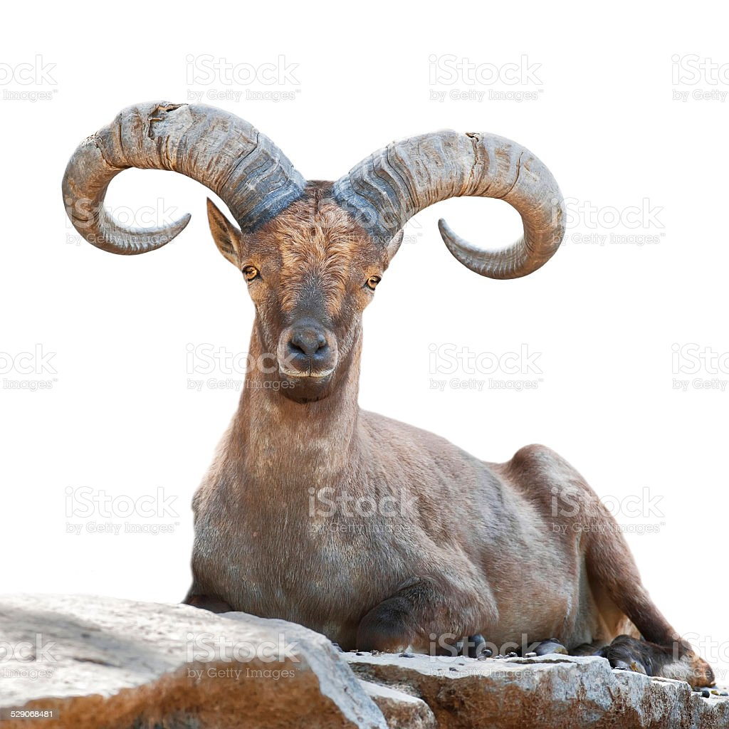 Stare of a mountain goat male. stock photo