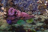 Starfish and sea anenomes, intertidal zone, Browning Passage.