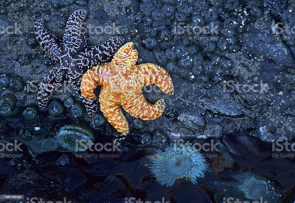 Starfish and tide pool royalty-free stock photo
