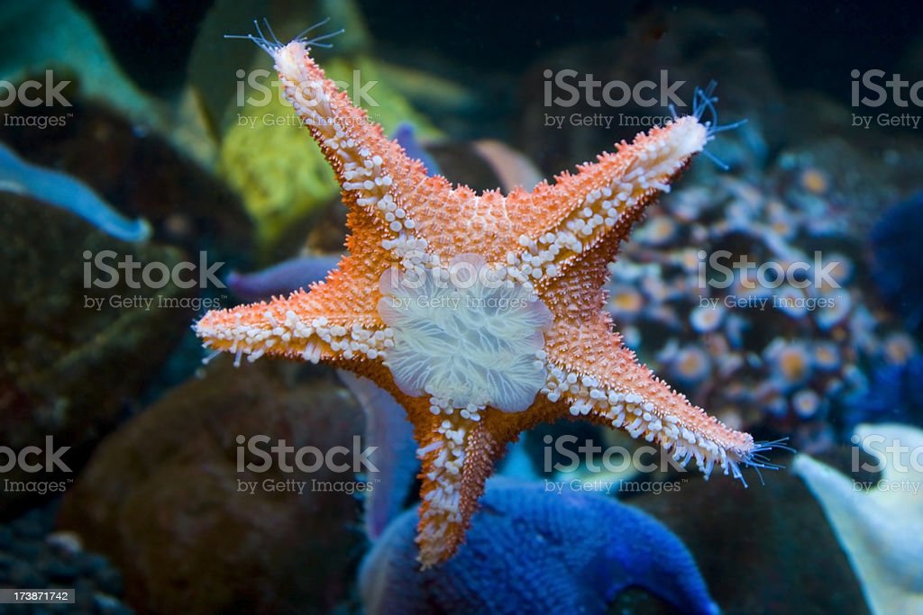 Starfish Glow royalty-free stock photo