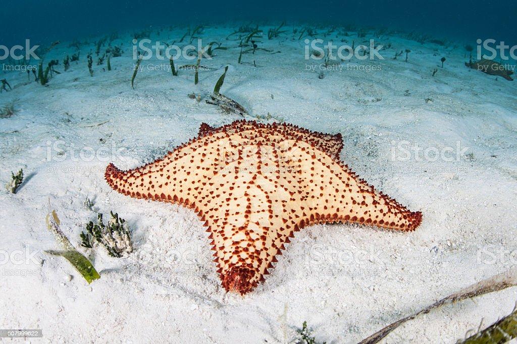 Starfish in Caribbean Sea stock photo