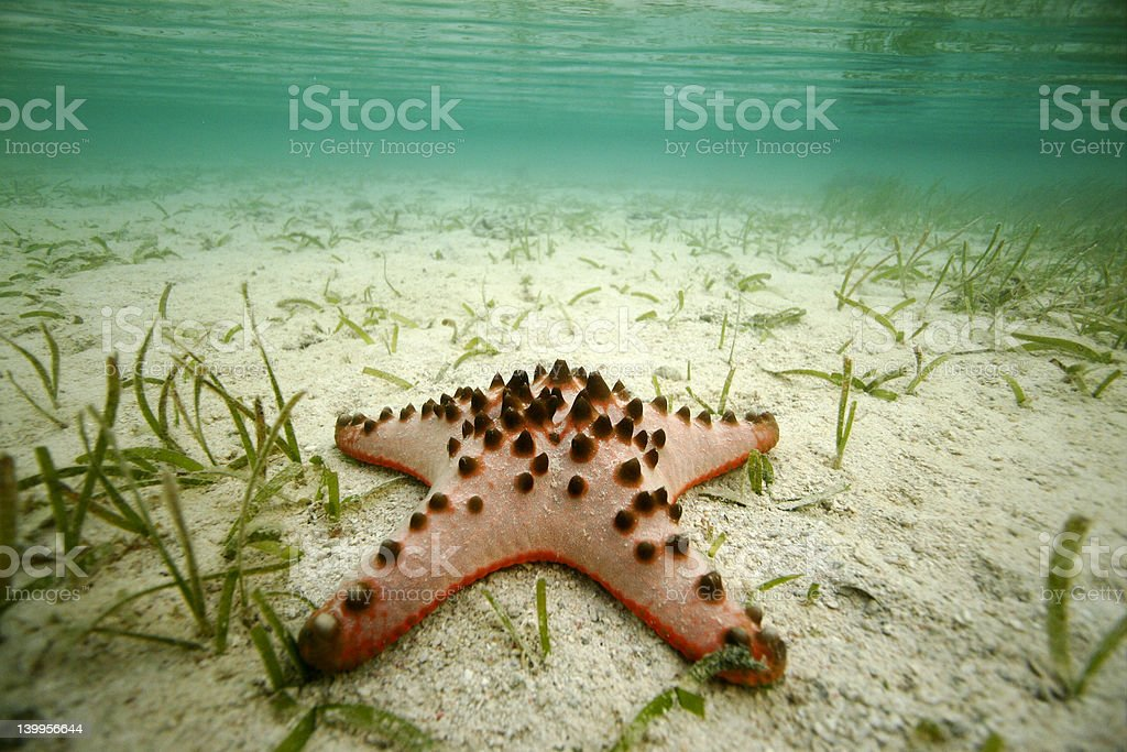 Starfish in shallow seagrass stock photo