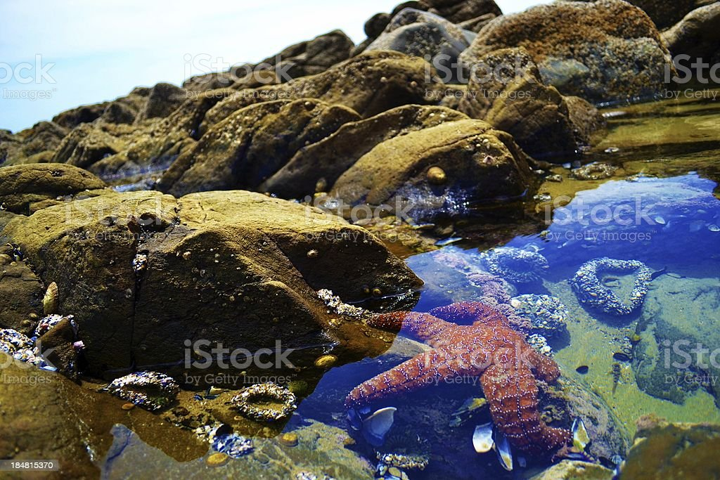 Starfish in Tide Pool stock photo