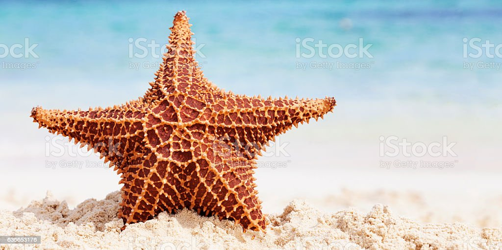 Starfish on a beach in the Bahamas stock photo