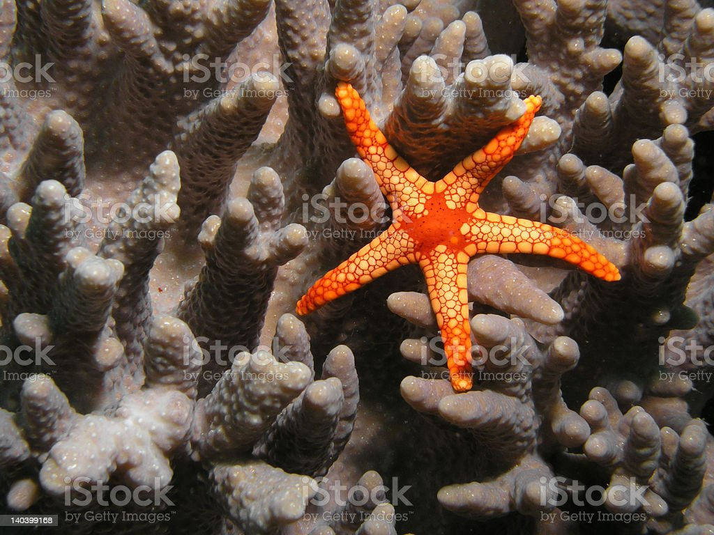 Starfish on coral royalty-free stock photo