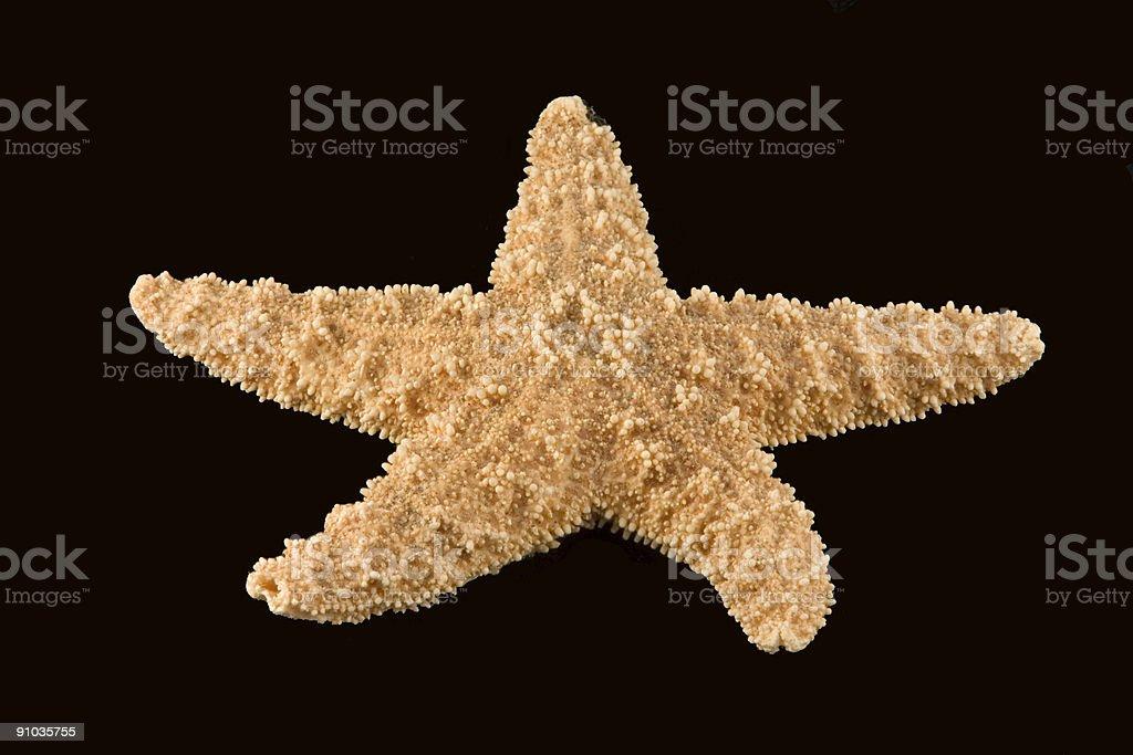 Starfish (Pisaster ochraceus) stock photo