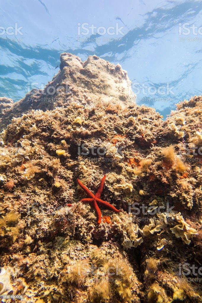 starfish sea star underwater vertical snorkel costa brava stock photo