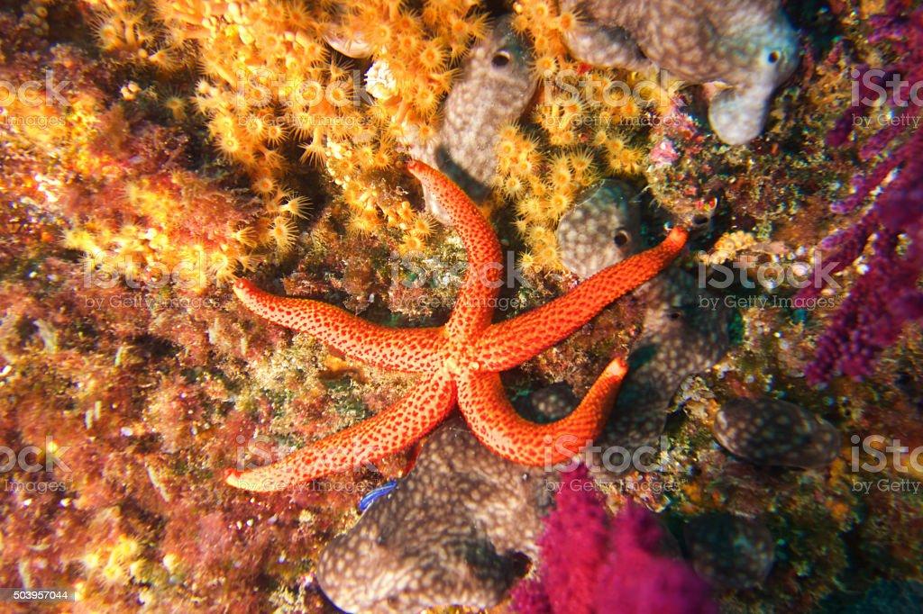 Starfish-Etoile de mer rouge (Echinaster sepositus) stock photo